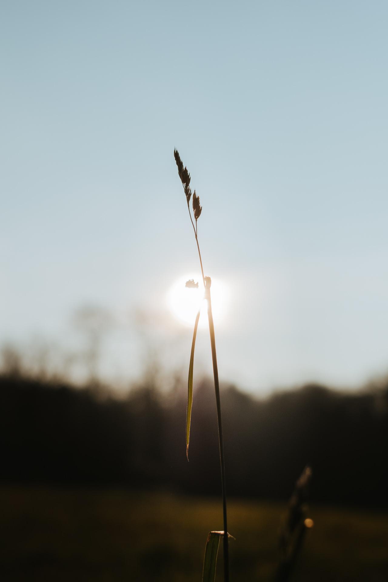 una spiga di grano al tramonto